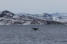 <h5>Dyreliv i Grønland</h5><p>© Lars Ulrik Thomsen. Fantastisk billede af hval, som er en kæmpe oplevelse at se live.</p>