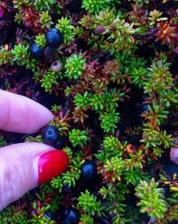 <h5>Sisimiut</h5><p>© Maja Motzfeldt Haahr har taget dette smukke efterårsbillede i Sisimiut. Sortebær nydes bedst ude i den storslået Grønlandske natur.</p>
