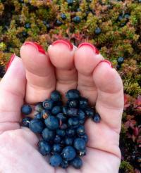 <h5>Sisimiut</h5><p>© Maja Motzfeldt Haahr har taget dette smukke efterårsbillede i Sisimiut. Sortebær er en stor nydelse og nydes bedst i den Grønlandske natur.</p>
