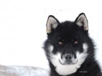 <h5>Ilulissat</h5><p>© Erene Olsvig har taget dette fantastiske billede af en hund i Ilulissat.</p>