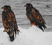 <h5>Nuuk</h5><p>© Niels Joelsen Heilmann har taget dette fantastiske billede af to ørne.</p>