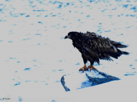 <h5>Nuuk</h5><p>© Niels Joelsen Heilmann har taget dette fantastiske billede af en ørn.</p>