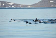 <h5>Nuuk</h5><p>Sæler i flok. © Klaus Eugenius</p>