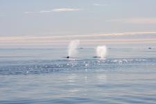 <h5>Nuuk</h5><p>© Otto Motzfeldt. Hvalsafari nær Nordland lige overfor Nuuk.</p>